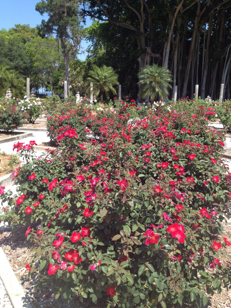 Roses varieties for South Florida