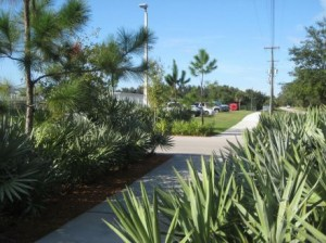Saw palmettos provide interesting texture on either side of a walk.