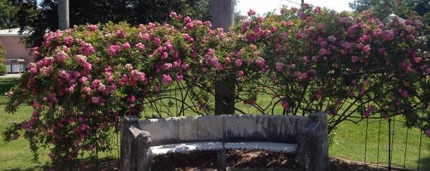 Roses in Florida